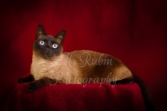 pets_Siamese_with_blue_eyes